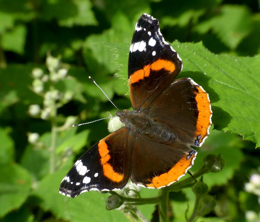 Red Admiral - Garenne, 9 Jun 18