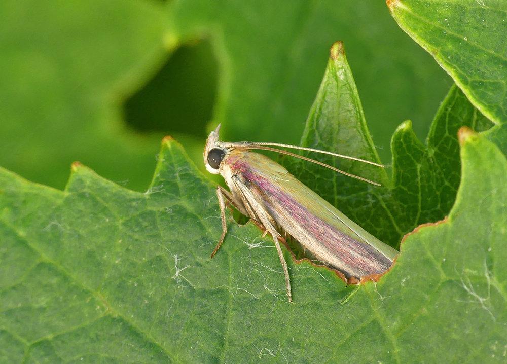 Oncocera semirubella - garden, 6 Jul 18
