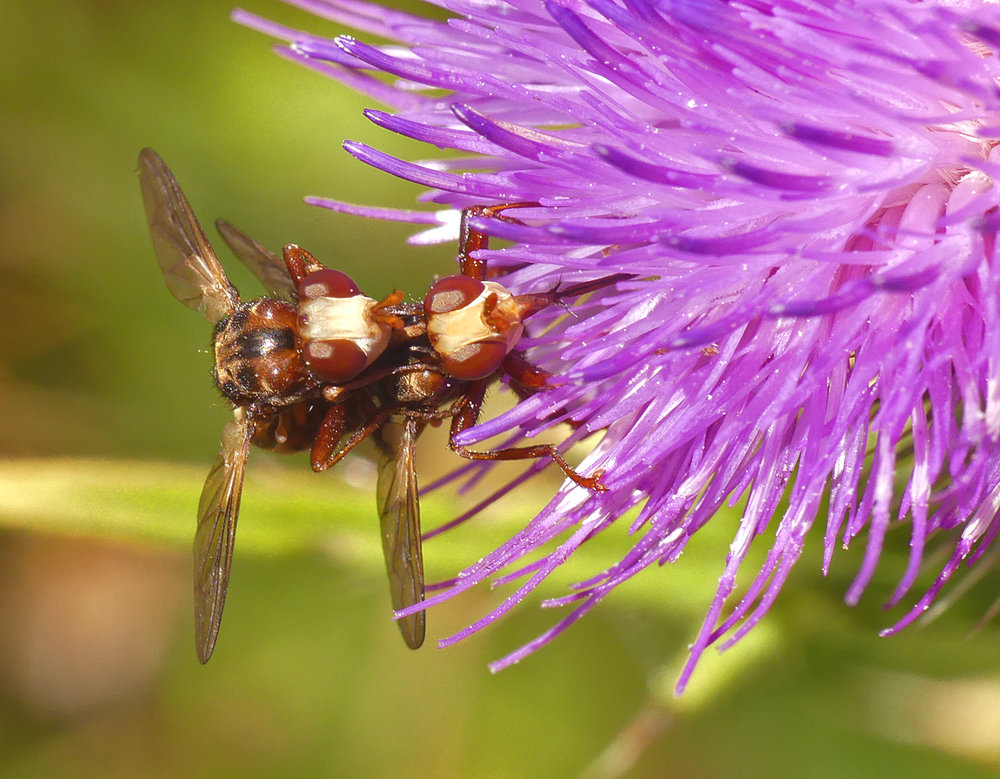 Sicus ferrugineus - Bordeaux, 14 Jul 18
