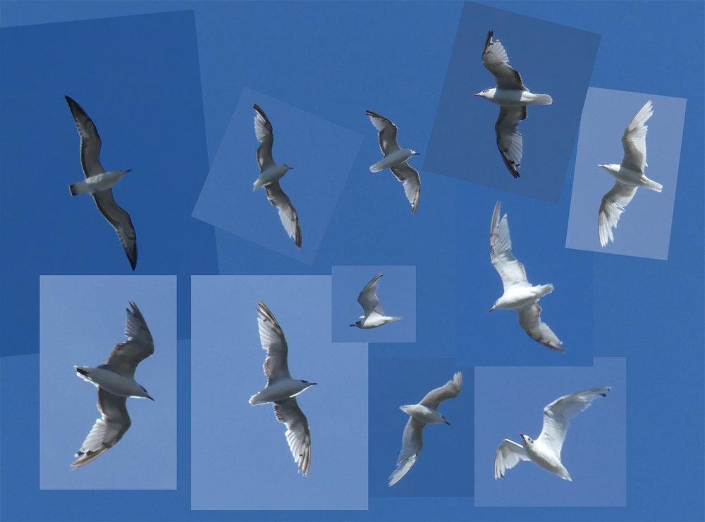 Med Gulls over garden, 4 Aug 18