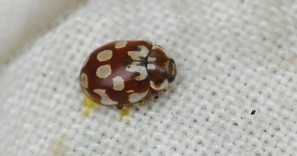 18-spot Ladybird - Thursley, 9 Aug 18