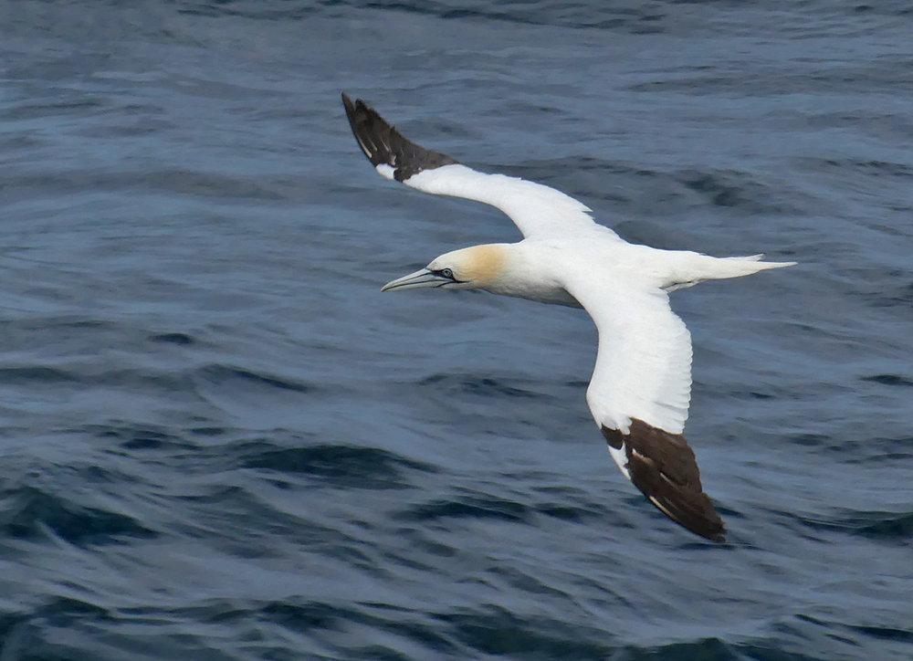 Gannet - near Alderney, 8 Aug 18