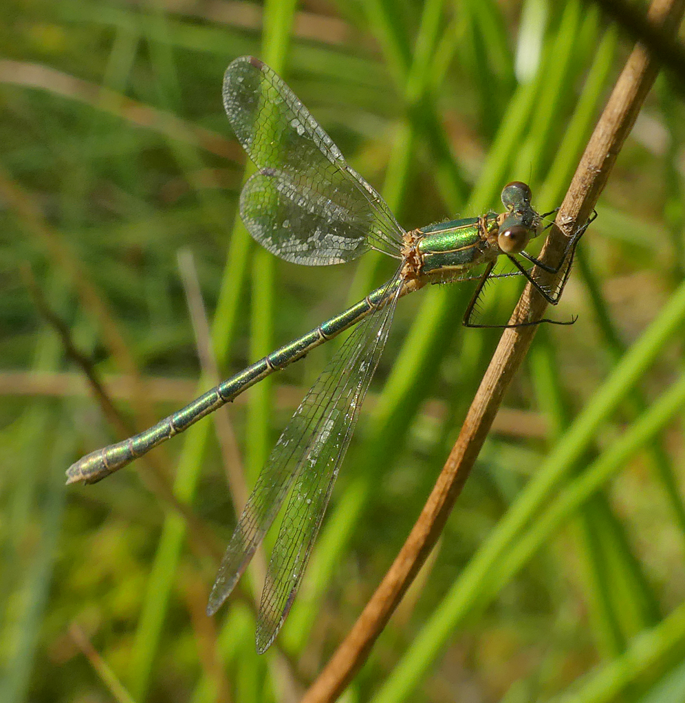 Emerald Damselfly - Thursley, 9 Aug 18