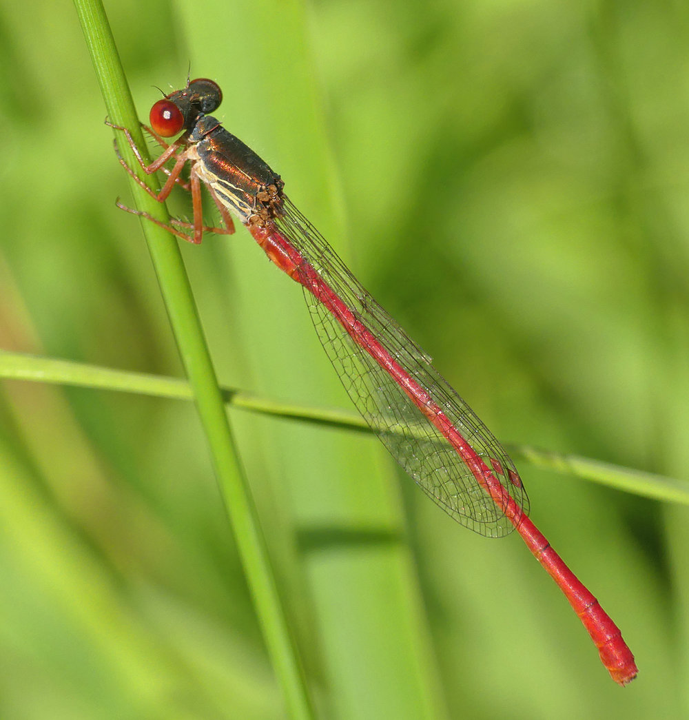 Small Red Damselfly - Thursley, 9 Aug 18