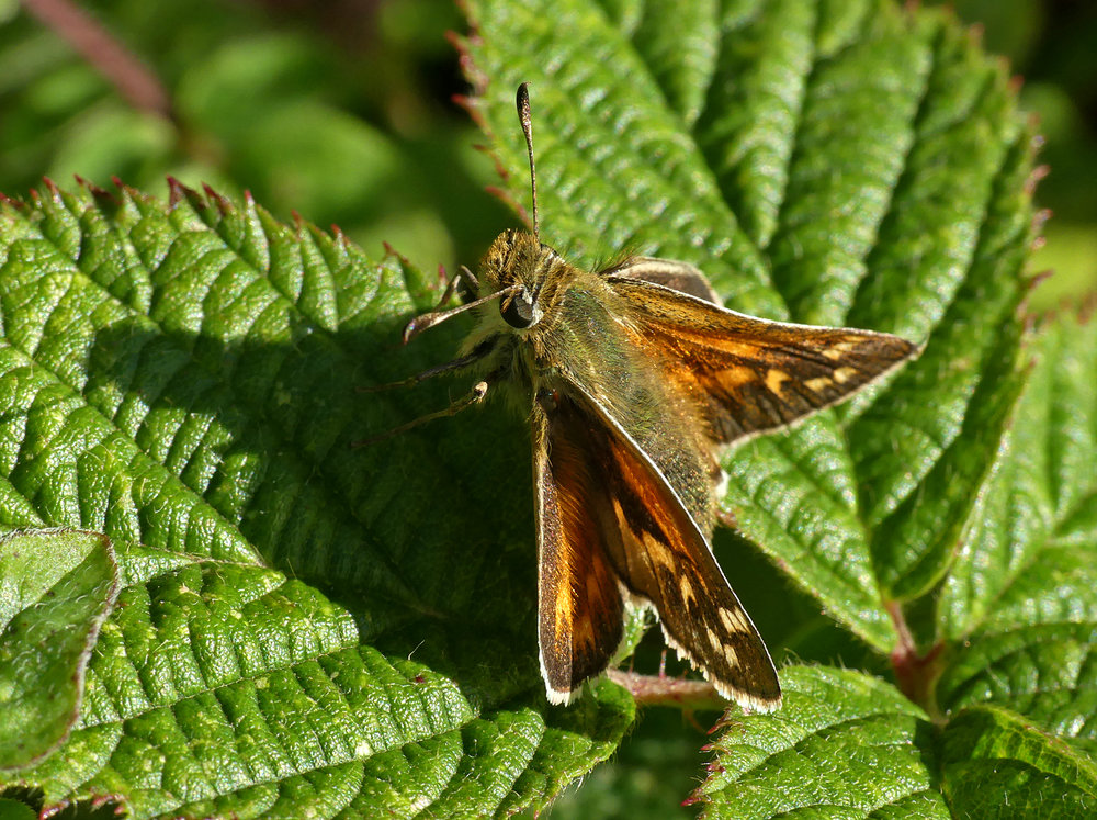 Silver-spotted Skipper - Queendown, Kent, 10 Aug 18