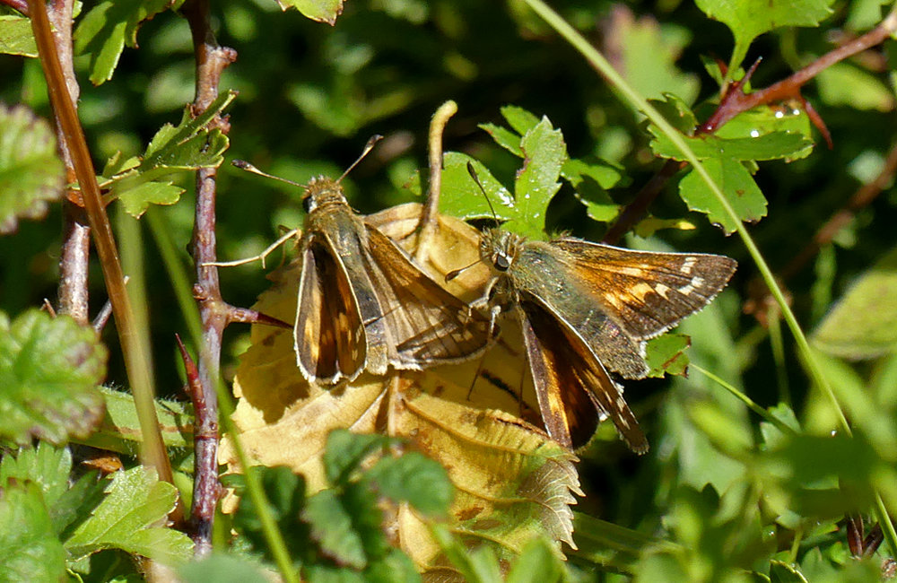 Silver-spotted Skippers - Queendown, Kent, 10 Aug 18