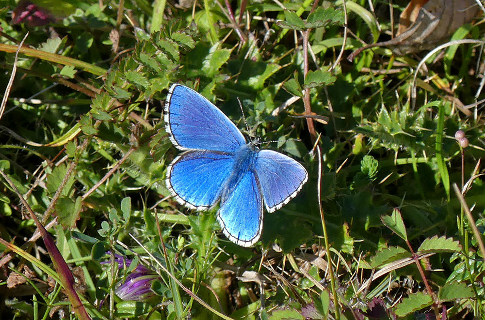 Adonis Blue - Queendown, Kent, 10 Aug 18