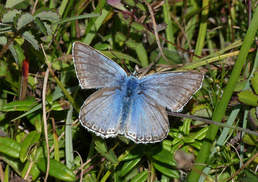 Chalkhill Blue - Queendown, Kent, 10 Aug 18