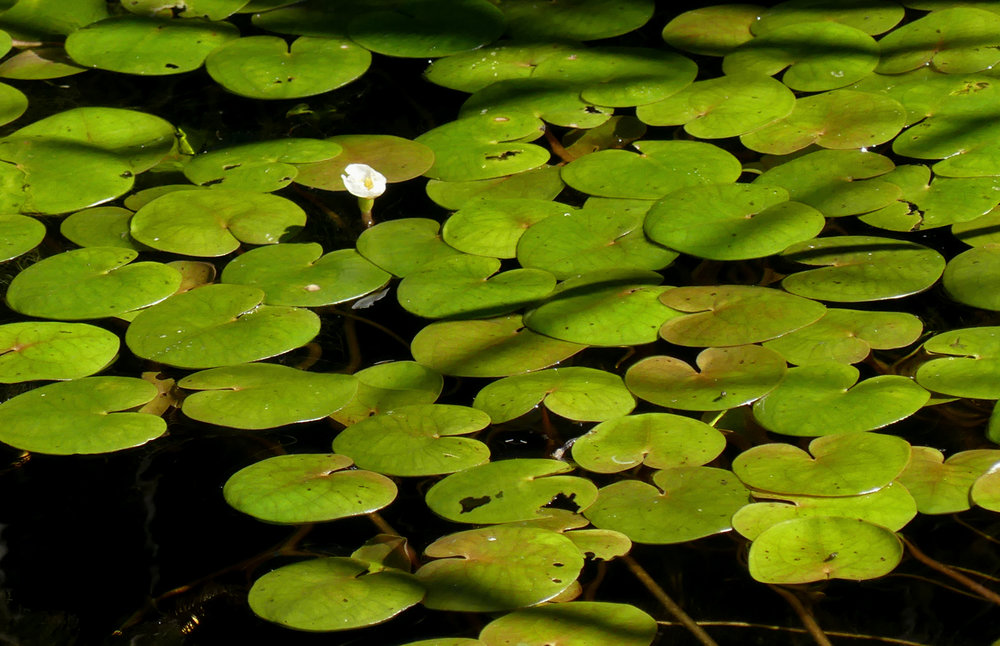 Frogbit - Strumpshaw, 11 Aug 18
