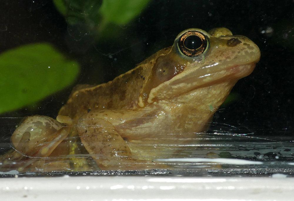 Frog, Little Fransham, Aug 18
