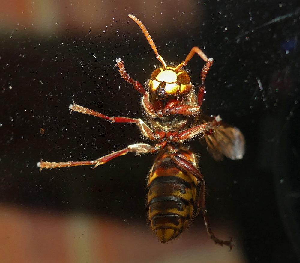 Hornet, Little Fransham, Aug 18