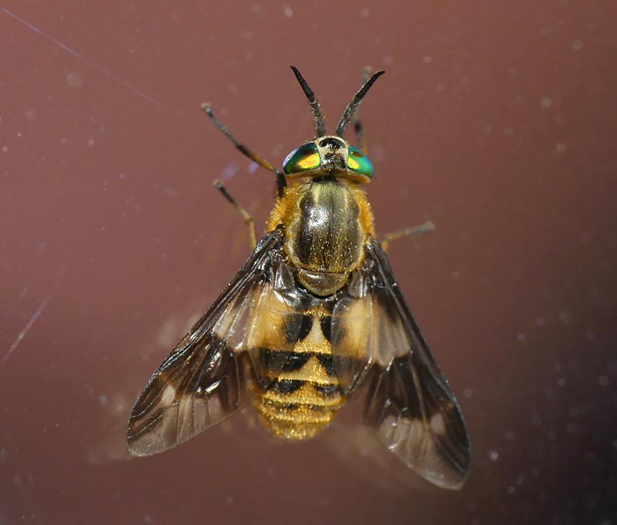 Twin-lobed Deerfly, Little Fransham, Aug 18