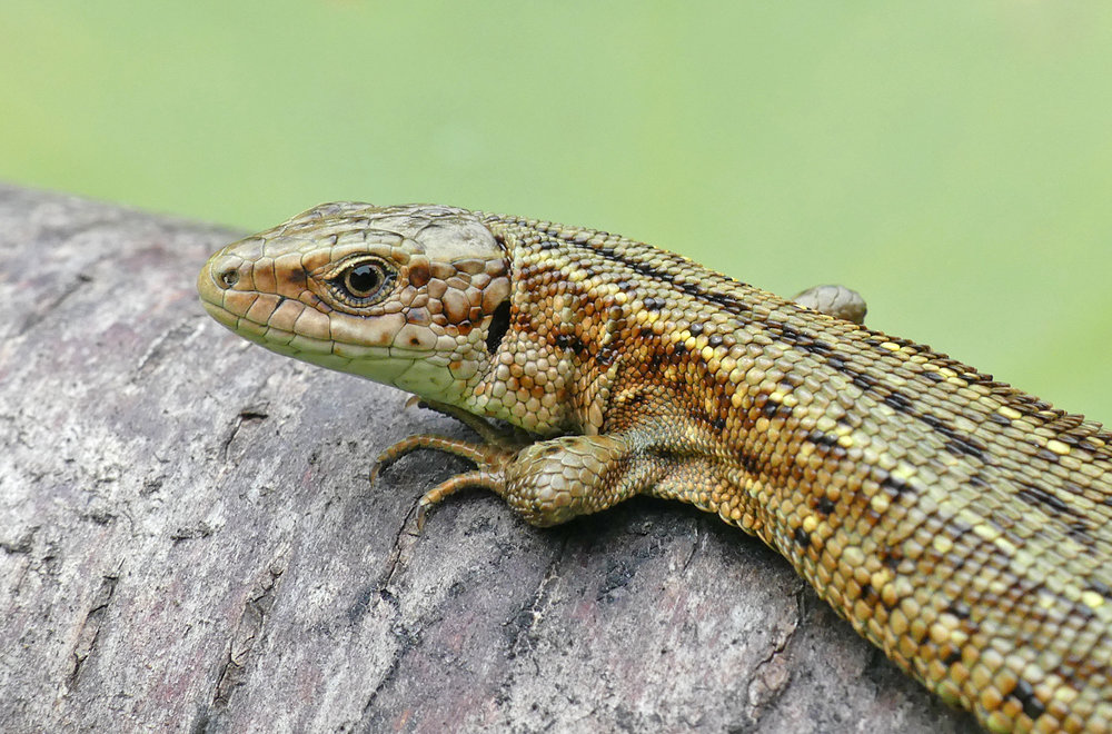 Common Lizard - Thursley, 18 Aug 18