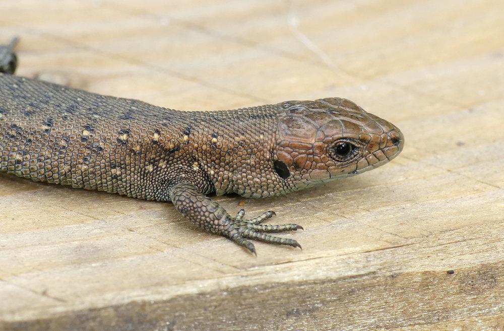 Young Common Lizard - Thursley, 18 Aug 18