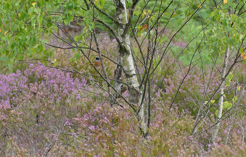Male Redstart - Thursley, 18 Aug 18