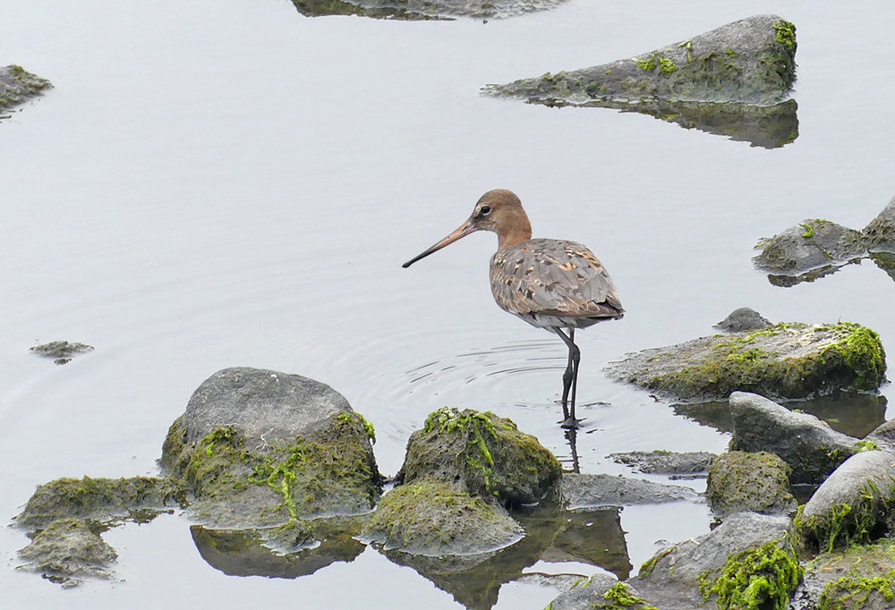 Black-tailed Godwit - Pulias, 23 Aug 18
