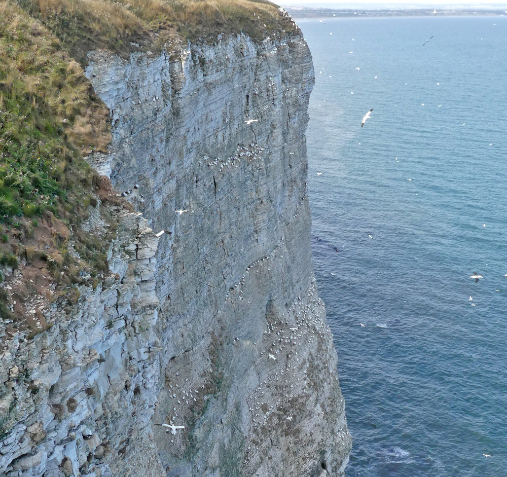 Bempton Cliffs - 30 Aug 18
