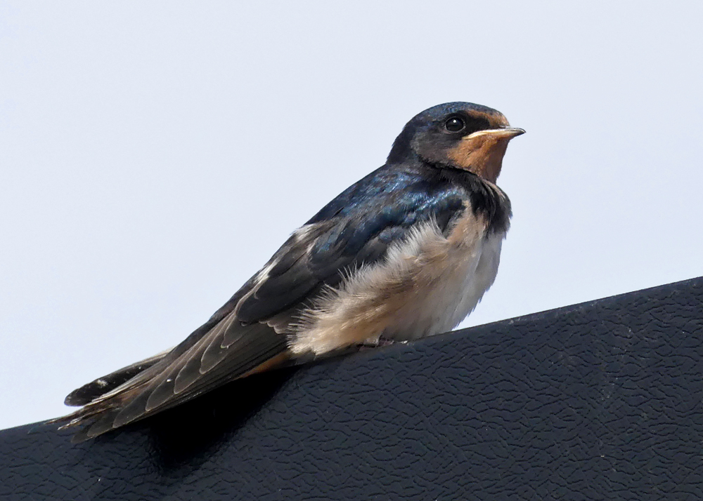 Swallow - Bempton, 30 Aug 18