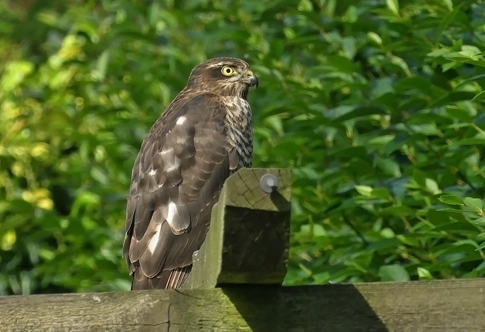 Sparrowhawk - Wold Newton, 30 Aug 18