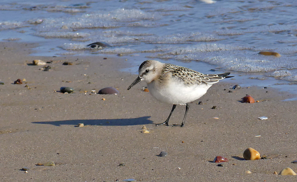 Sanderling - Hunmanby beach, 31 Aug 18