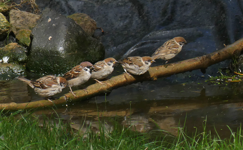 Tree Sparrows - Bempton, 30 Aug 18