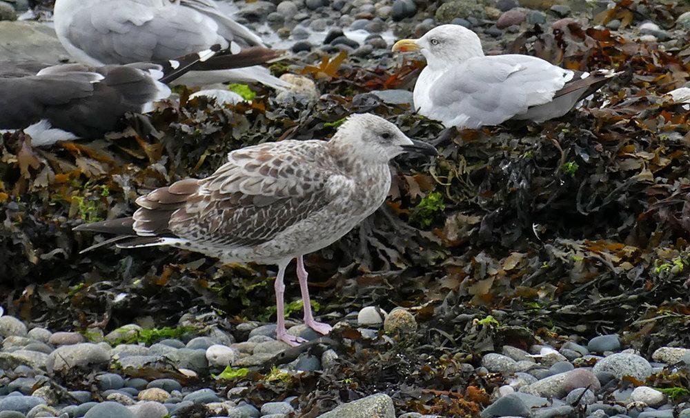 Caspian Gull - Perelle, 18 Sep 18