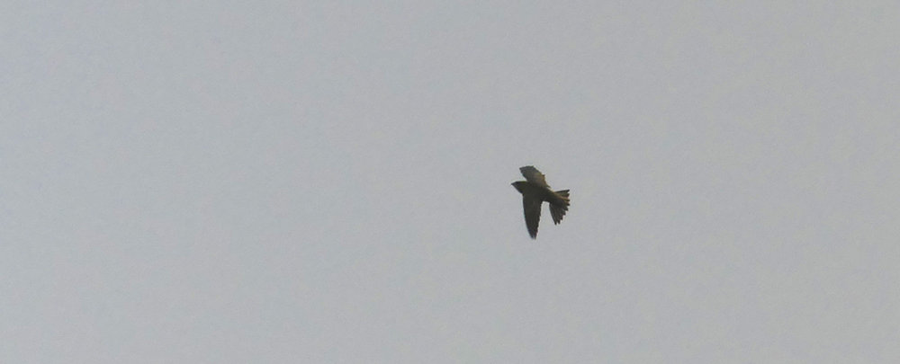 Pallid Swift - Pleinmont, 15 Oct 18