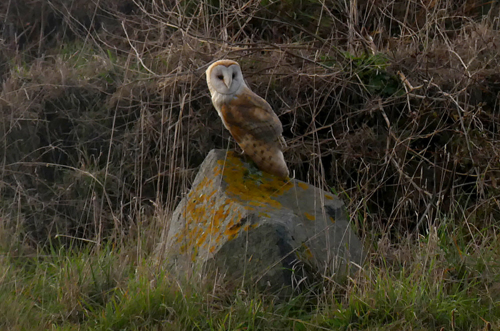 Barn Owl - Pleinmont, 15 Oct 18