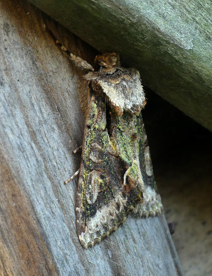 Green-brindled Crescent - garden, 19 Oct 18