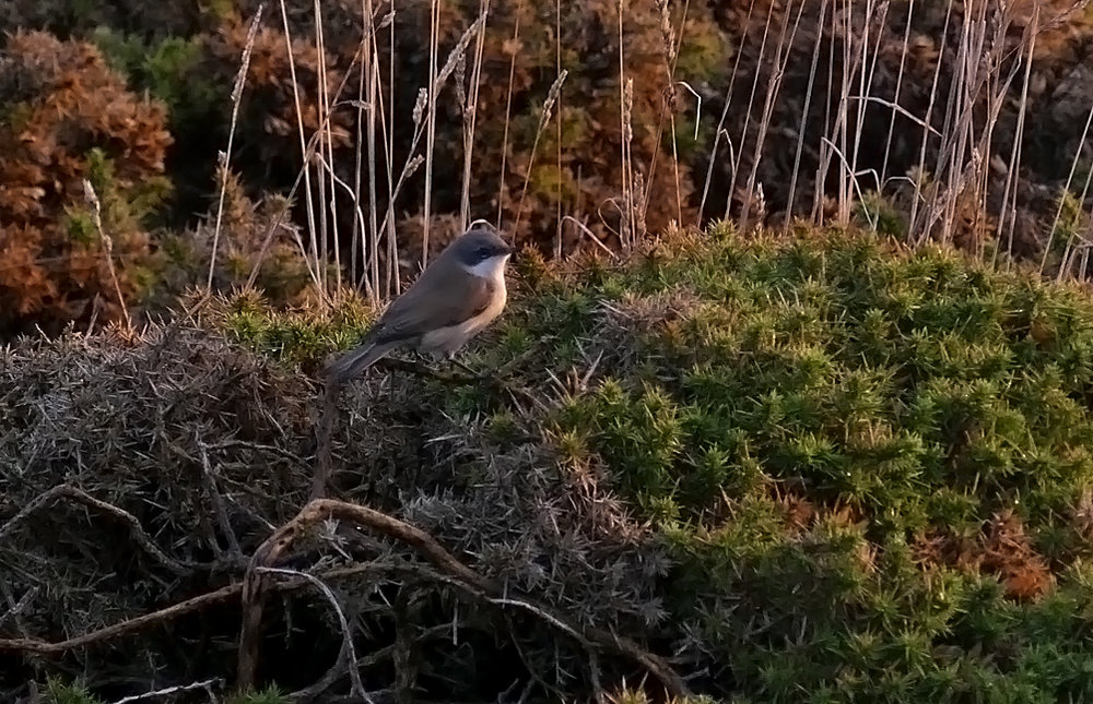 Lesser Whitethroat - Fort Hommet, 16 Oct 18