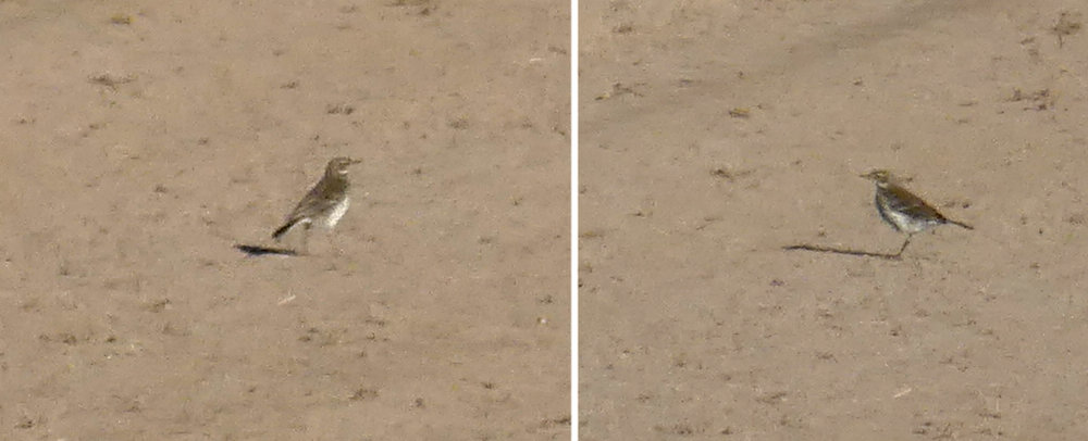Water Pipit - Mont Herault, 21 Oct 18