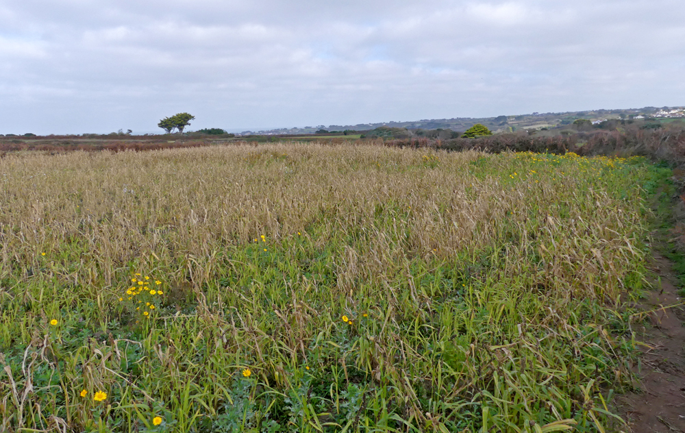 La Societe seeds fields at Pleinmont
