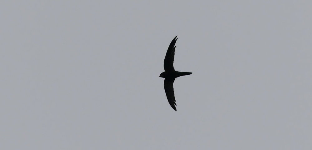 Pallid Swift - Pleinmont, 17 Nov 18