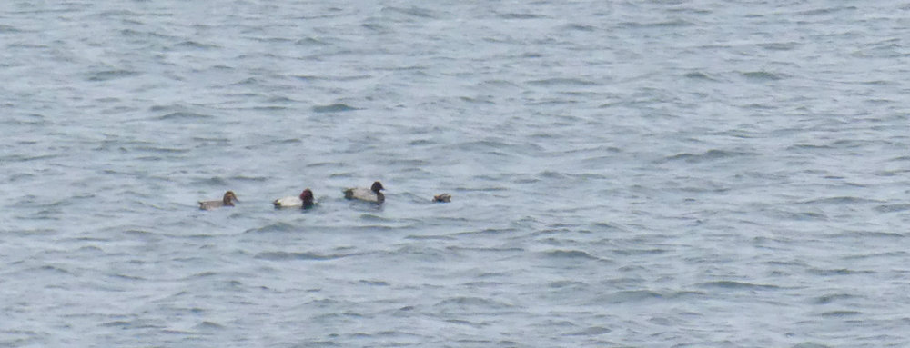 Three Pochards - Perelle, 17 Nov 18