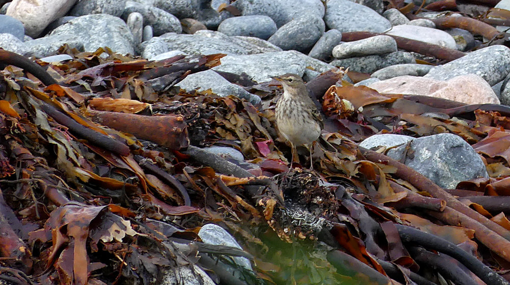 Water Pipit - L'Eree Shingle Bank, 30 Dec 18