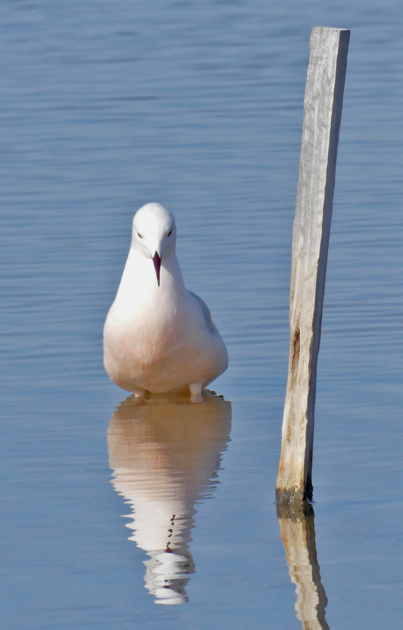 Slender-billed Gull Bonanza D.jpg