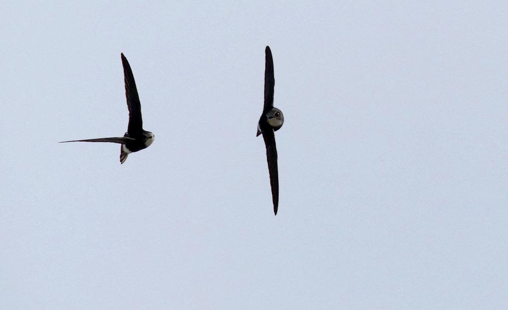 Little Swifts Chipiona C.jpg