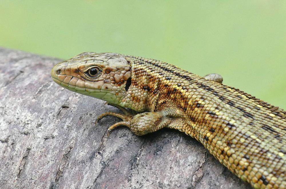 Common Lizard Thursley 18Aug18 a.jpg