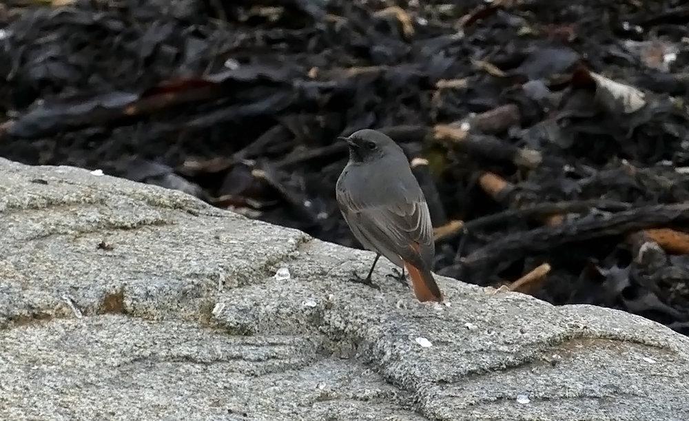 Black Redstart - Pulias, 6 Jan 19