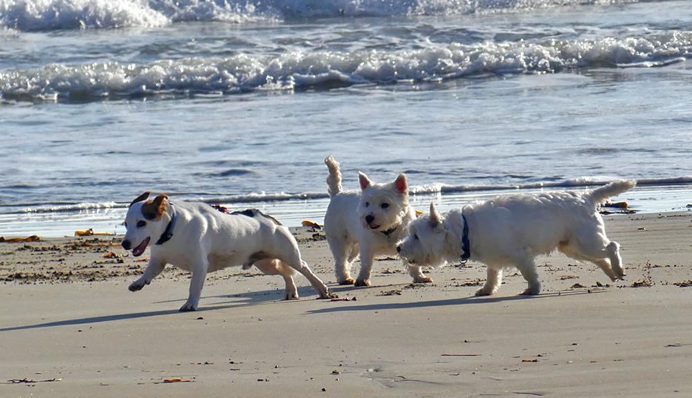 Frolicking dogs at Petit Bot