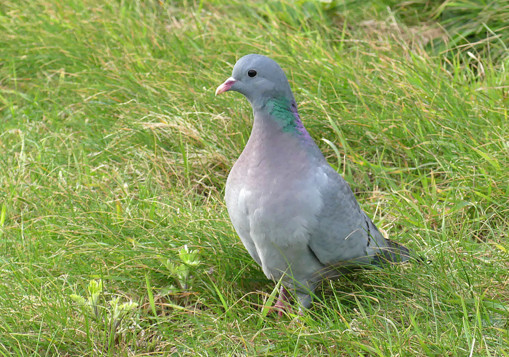 Stock Dove - Fort Hommet/Vazon, 18 Mar 19