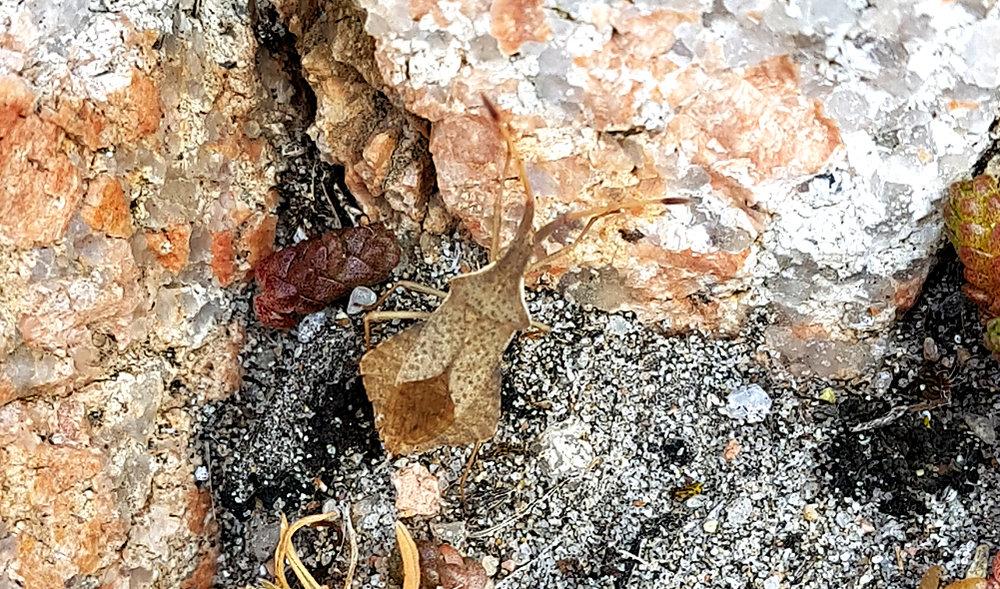 Rhomboid Leatherbug - Albecq/Hommet, 28 Mar 19