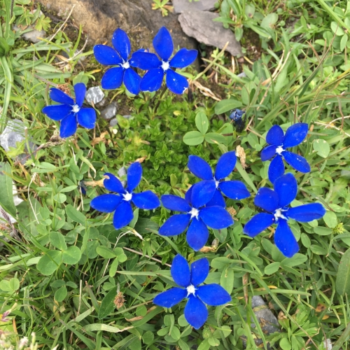 Gentiana verna flowers. THEY ARE SO BLUE.