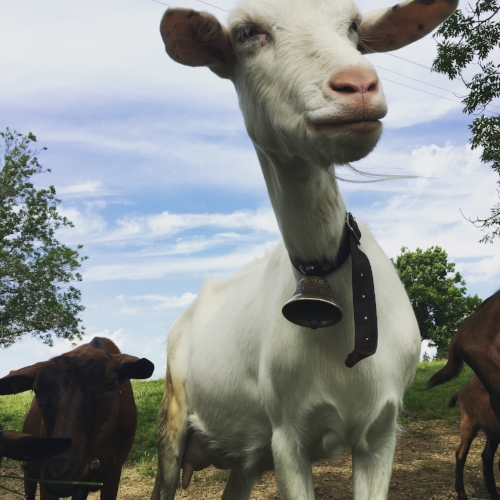 A cool, contemplative goat, leader of the herd