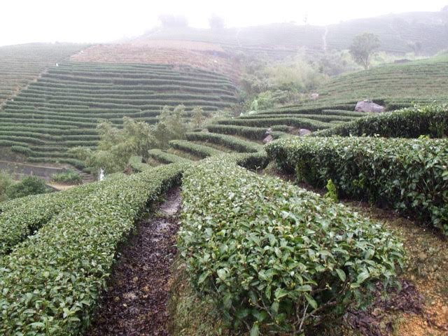 Bao Chong Roasted — In Pursuit of Tea