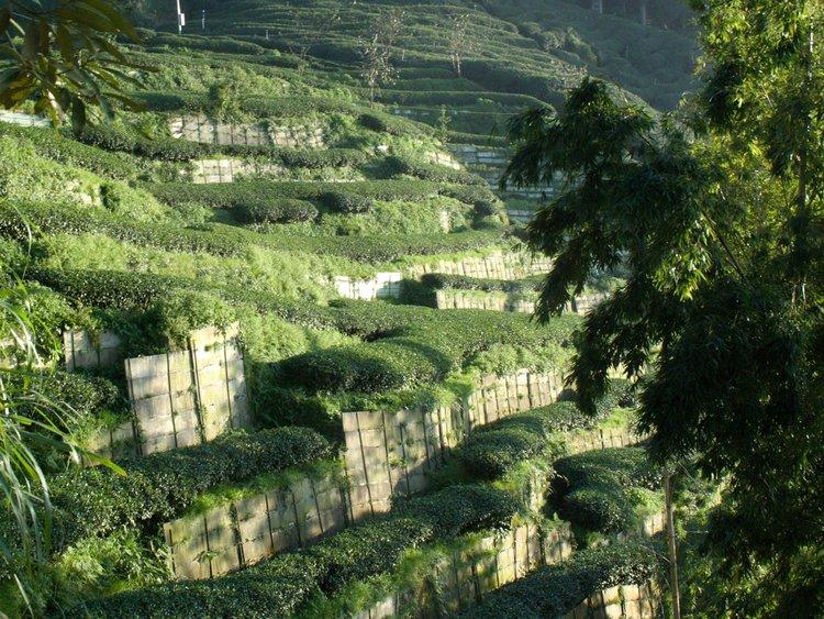 High Mountain Shan Lin Xi — In Pursuit of Tea