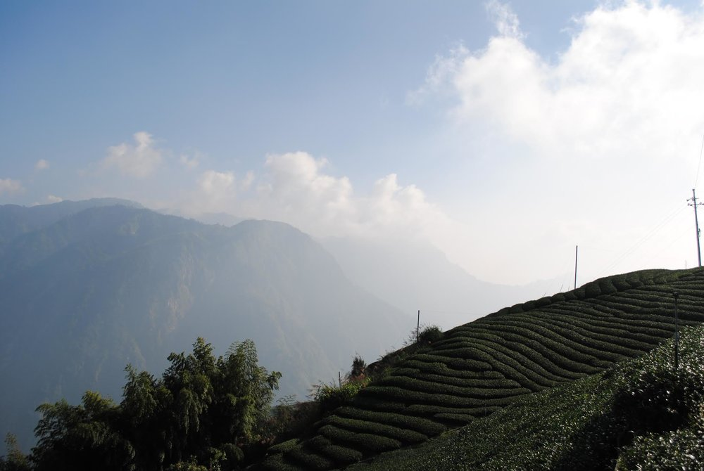 High Mountain Shan Lin Xi - Winter harvest Taiwanese oolong;notes of balsam and butter