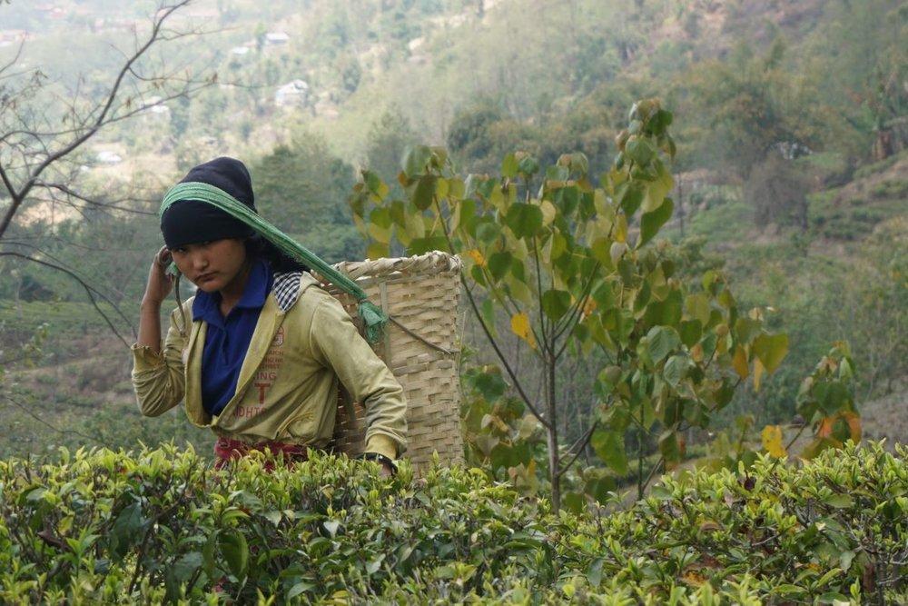 A picker at Nepal's Jun Chiyabari tea estate.