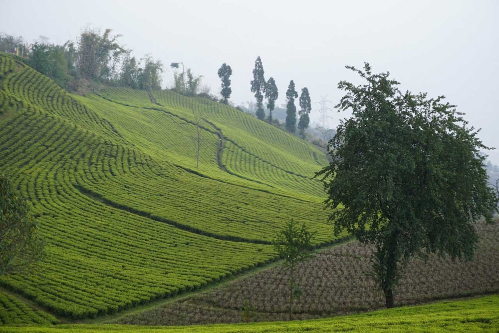 temi-tea-estate-2.jpg