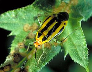 Four Line Plant Bug